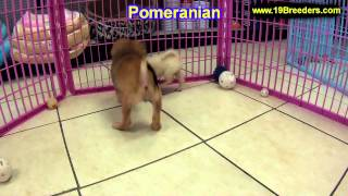 Pomeranian, Puppies, For, Sale, In, Salt Lake City, Utah, Ut, Tooele, Kearns, Cottonwood Heights, Pl