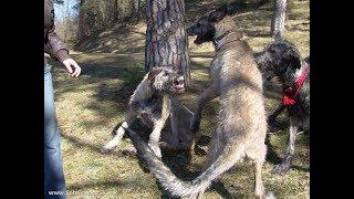 Волк против  ШЕСТИ СОБАК