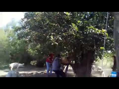 Capando un chancho