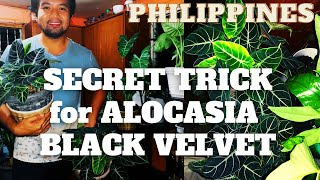 ALOCASIA BLACK VELVET - BEST CARE TIPS ON HOW TO MAKE THEM LUSH, BUSHY AND HEALTHY - with Subtitle