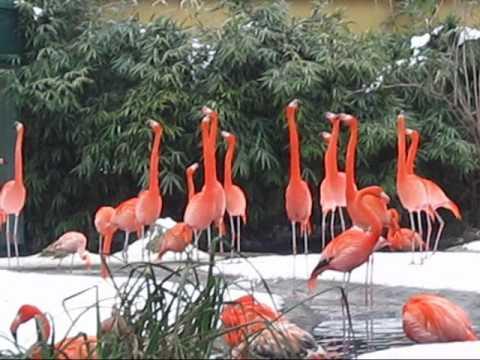 Caribbean Flamingos, Zoo Vienna