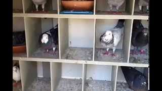 Kitbox Forward Facing Box Perches for Homing Racing Pigeon