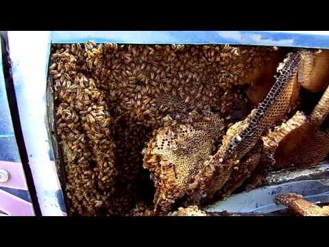 2014 10 29 International Harvester Scout Houston Bees