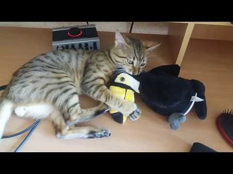 Egyptian mau playing with the toy bird