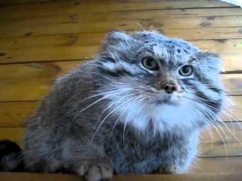 Шипение котов слушать онлайн