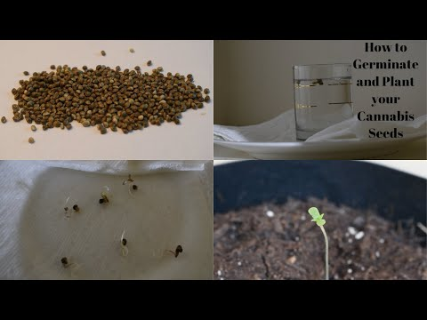 How To Germinate And Plant Your Cannabis Seeds