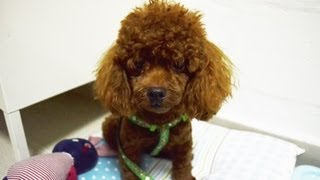 Amber Toy Poodle - Milo, Toffee And Amber