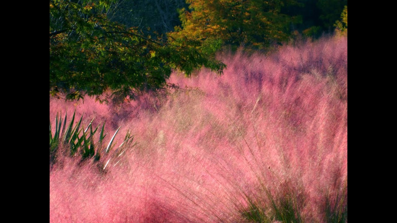 Cotton candy ornamental grass - Cotton Candy Ornamental Grass 14