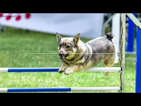 Ness - swedish vallhund - concours agility blagnac