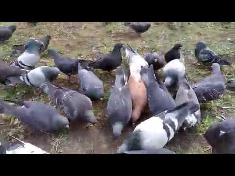 Голуби клюют хлебушек