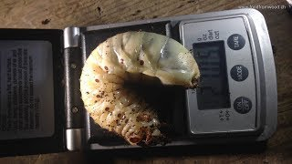Untersuch einer Box mit Mecynorrhina torquata ungandensis - 3 Puppen-