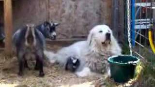 Newborn Pygmy goat kids meet BIG DOG - May