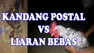 Download lagu PENGALAMAN KANDANG POSTAL & LIARAN BEBAS