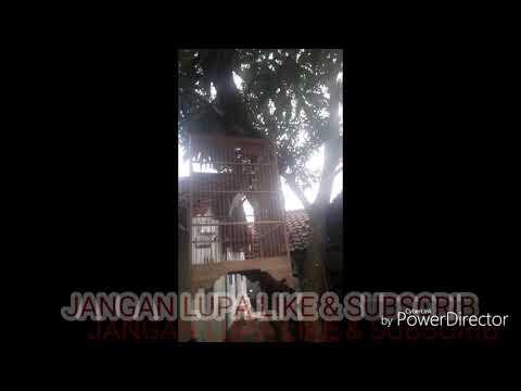 Download Lagu KENARI PUTIH GACOR COCOK BUAT MEMANCING KENARI YANG MALES BUNYI