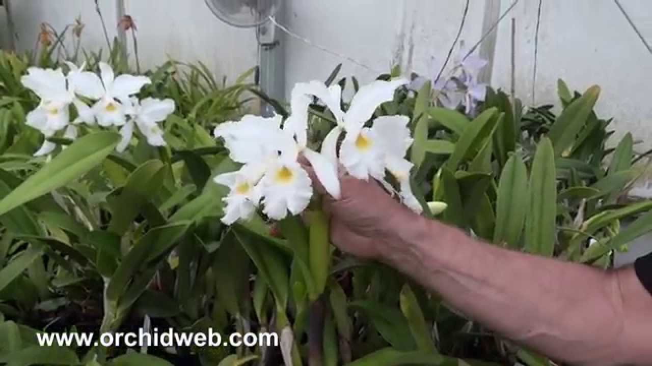 Cattleya warscewiczii semi-alba Fragrant 7-11 INCH flowers Bloom Size SET B