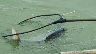 8 KG Catla Fishing Videos By An Old Village Fish Hunter