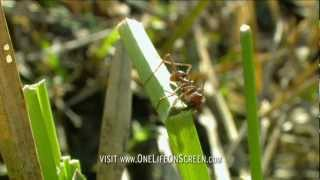 Army of grass cutter ants - One Life - BBC