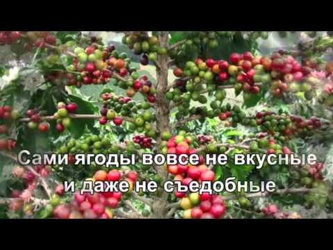 Как выращивают кофе. Кофе купить оптом