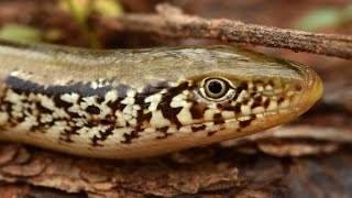 GLASS LIZARD - Facts About the Western Slender Glass Lizard