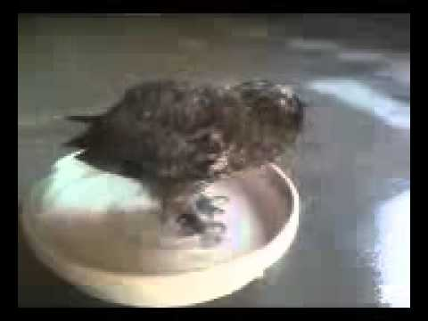 Helen the Great Horned Owl takes a bath