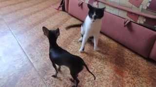 собаки видео приколы  .  кошки против собак . собачка ставит на место кота