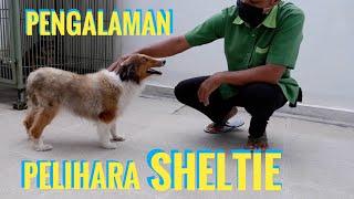 DOG REVIEW : SHETLAND SHEEPDOG INDONESIA