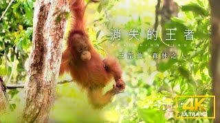 《聚焦全世界》《4K SDR》消失的王者三部曲:森林之人 第46期|舒夢蘭Vanishing Kings III- Orangutan of Borneo | EarthFocus_Taiwan