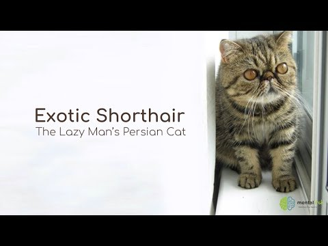 Exotic Shorthair – The Lazy Man's Persian Cat