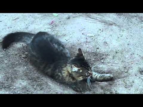 Videos de Gatos Chistosos y Divertidos Gracioso Youtube Tom Viudo Loco de Risa Volador