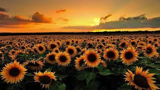 Sunflower (original)