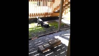 Dog barks at Bee