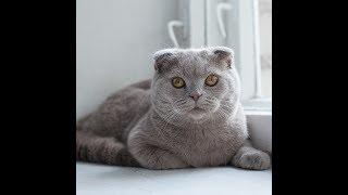 Шотландский кот  отходит от наркоза после кастрации.