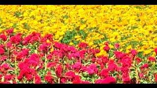 Lista la producción de cempasúchil en Tepeyanco