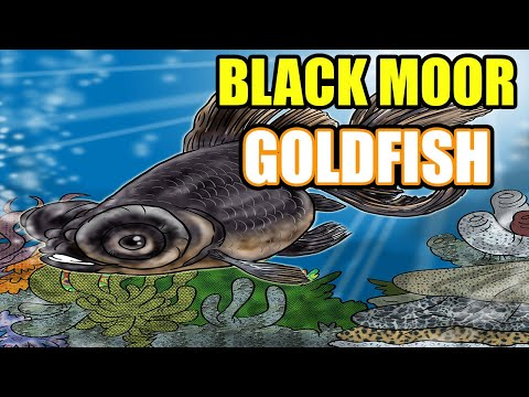 Black Moor Goldfish Care And Info - All About The Black Moor
