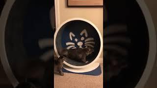 Three-Legged Cat Runs Inside Exercise Wheel - 1033024