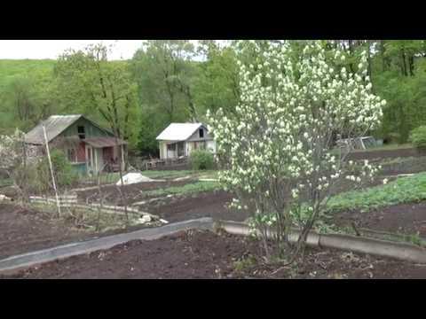 Как посадить, размножать и выращивать иргу на даче