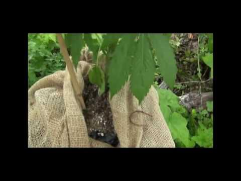 HOW TO GROW OUTDOOR MARIJUANA PLANTS!