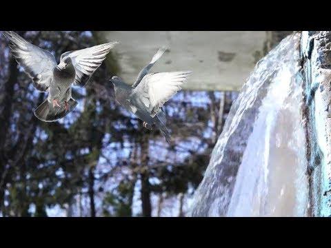 Звуки водопада в парке и голуби.