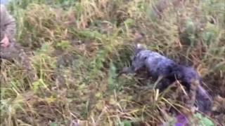 Первая работа моей собаки по утке от Лысого Макса