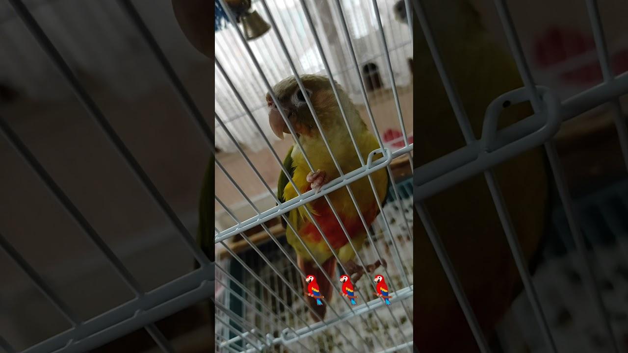 Jako & Konur  papağanı nasıl yıkanır | Konur & Jako papağanı nasıl serinletilir
