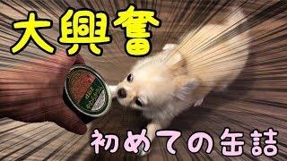 子犬チワワがはじめての缶詰で大興奮! ◇Twitter https://twitter.com/m...