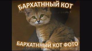 Барханный кот, что за милашка!