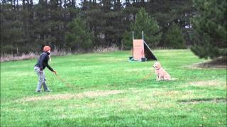 Stella (golden Retriever) Boot Camp Dog Training Video