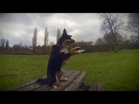Border Collie vs Belgian Malinois- Temperament Dogs!