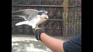 Alap-alap Tikus / Black Winged Kite