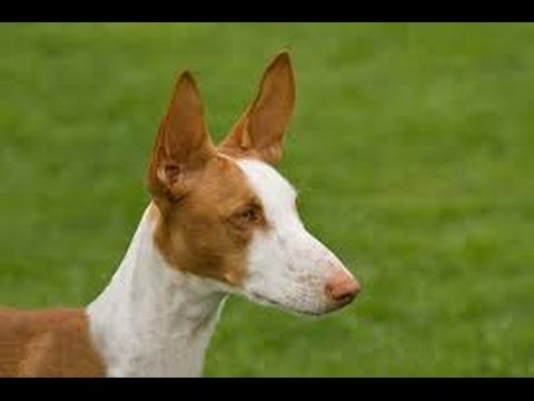 Ibizan Hound (Podenco Ibicenco) - Dog Breed