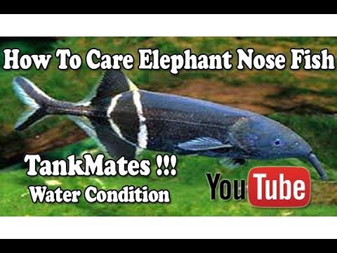 How To Care Elephant Nose Fish   Tank-mates   Water Conditions   Maximum Size !!! Urdu/Hindi