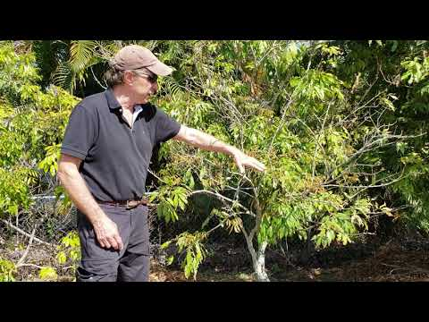 Two Rules of Thumb for Growing Lychee trees