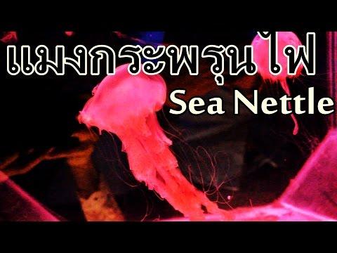 แมงกะพรุนไฟอินโดนีเซีย (Sea Nettle) (Chrysaora chinensis)