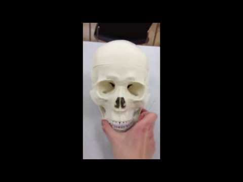 Skull Anatomy: Part 1
